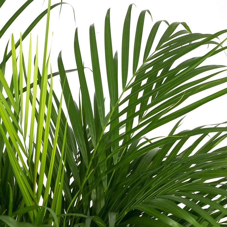 areca palm 150 cm pot 27 750px 1