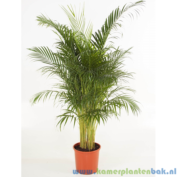 Areca palm, Goudpalm Ø 31 ↨ 170