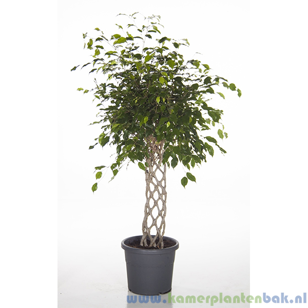 Ficus Exotica op matje Ø 33 ↨ 140