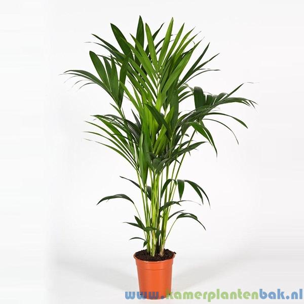 Kentia Howea palm (5pp) Ø 21 ↨ 120