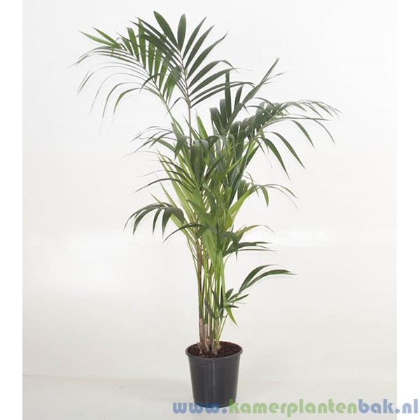 Kentia Howea palm (5pp) Ø 24 ↨ 160