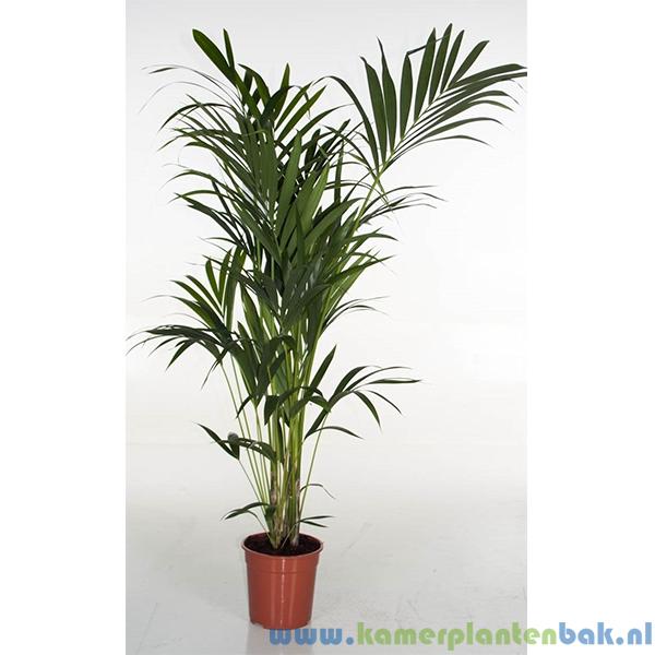 Kentia Howea palm (6pp) Ø 24 ↨ 160