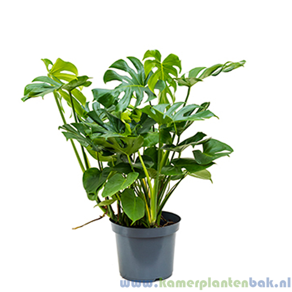 Philodendron Monstera Pertusem Ø 30 ↨ 100