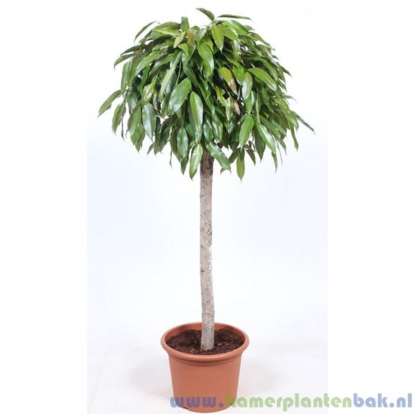 Ficus Amstel King op stam Ø 40 ↨ 170
