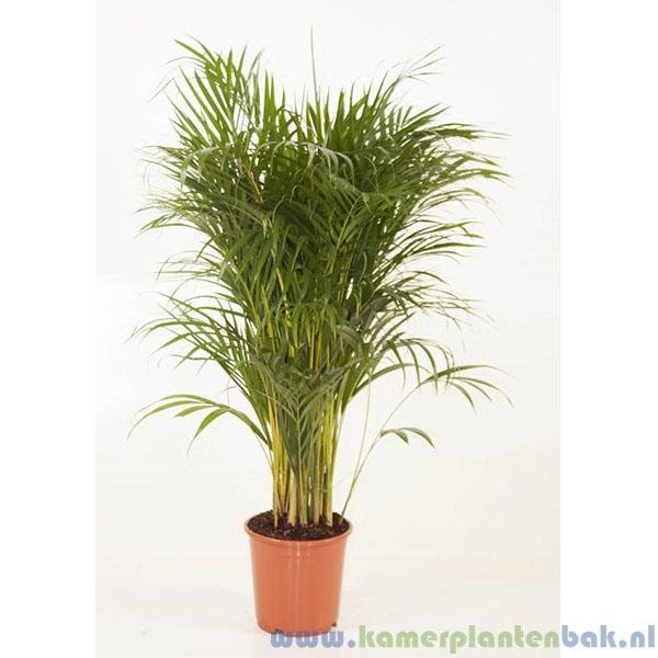 Areca palm, Goudpalm Ø 24 ↨ 130