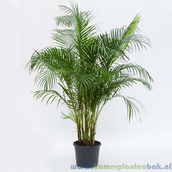 Areca palm, Goudpalm Ø 32 ↨ 150