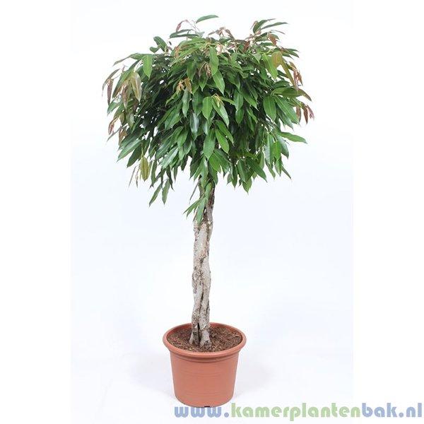 Ficus Amstel King (vlechtstam)