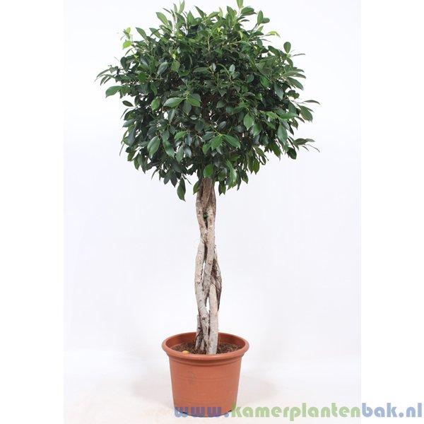 Ficus Nitida vlechtstam