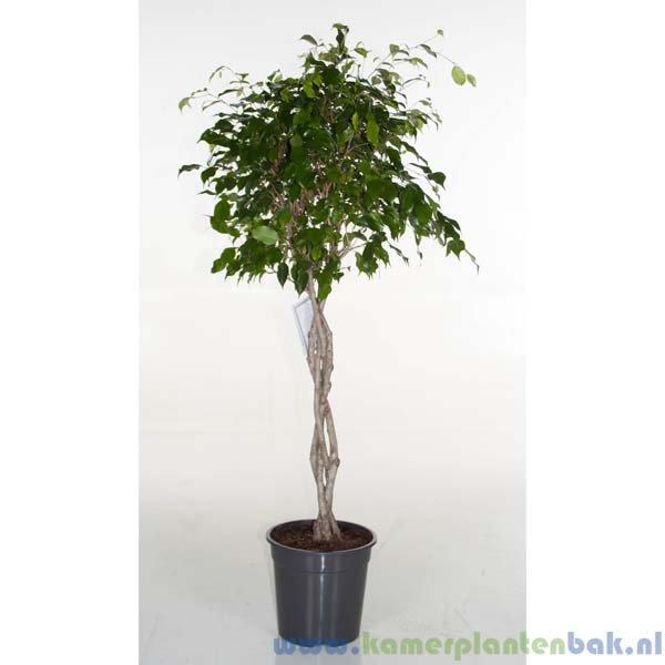 Ficus Exotica vlechtstam