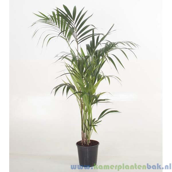 Kentia Howea palm (5pp)