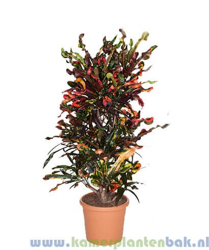 Croton (Codiaeum) Mammi
