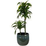 Dracaena kamerplant in pot