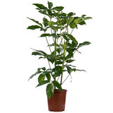 Schefflera Amate kamerplant