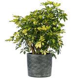 Schefflera Trinette in plantenpot