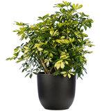 Schefflera Trinette in pot