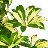 Schefflera Trinette bladeren