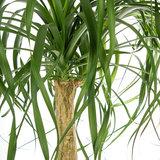 Beaucarnea langwerpig blad
