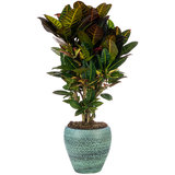 Croton Petra in pot