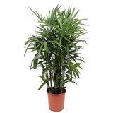 Kamerplant Rhapis Excelsa palm kopen