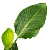 Strelitzia blad