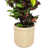 Croton in Beige pot