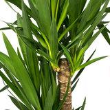 Yucca blad