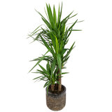 Yucca in luxe pot