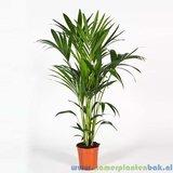 Kamerplant Kentia Palm (Howea Forsteriana) 5pp kopen
