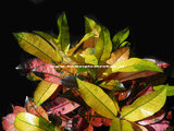 Croton Iceton blad