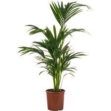 Kentia 80 cm - Howea palm (5pp)