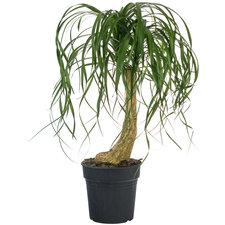 Beaucarnea op stam 80 cm