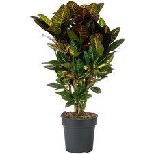 Croton 70 cm - Petra