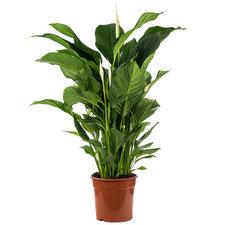 Spathiphyllum 100 cm - Sweet Lauretta