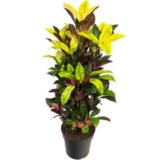 Croton 80 cm - Iceton