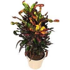 Croton 80 cm - Curley Boy in Mand