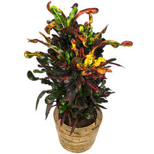 Croton 80 cm - Curley Boy in Rattan pot