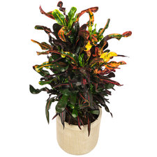 Croton 80 cm - Curley Boy in Ribbelpot