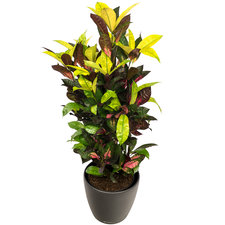 Croton 80 cm - Iceton in Antraciet pot