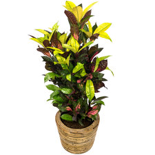Croton 80 cm - Iceton in Rattan pot