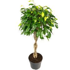 Ficus 100 cm - Benjamina Exotica