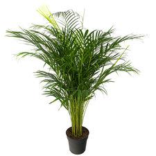 Areca palm 140 cm