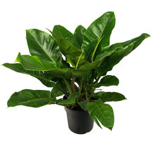 Philodendron 60 cm - Imperial Green