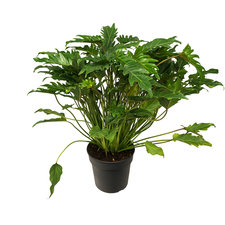 Philodendron 70 cm - Xanadu