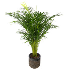 Areca palm 140 cm in Luxe pot