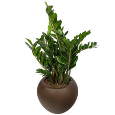 Zamioculcas 100 cm in Rusty pot