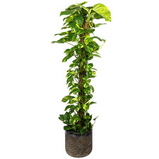 Epipremnum Scindapsus 150 cm in Luxe pot