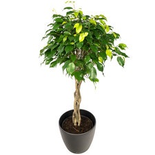 Ficus 100 cm - Benjamina Exotica in Antraciet pot