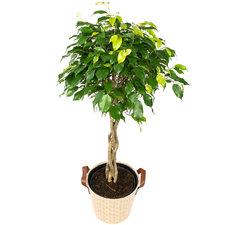 Ficus 100 cm - Benjamina Exotica in Mand