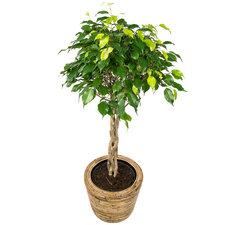 Ficus 100 cm - Benjamina Exotica in Rattan pot