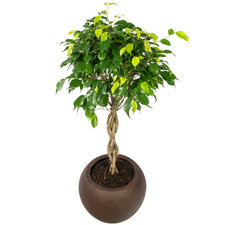 Ficus 100 cm - Benjamina Exotica in Rusty pot